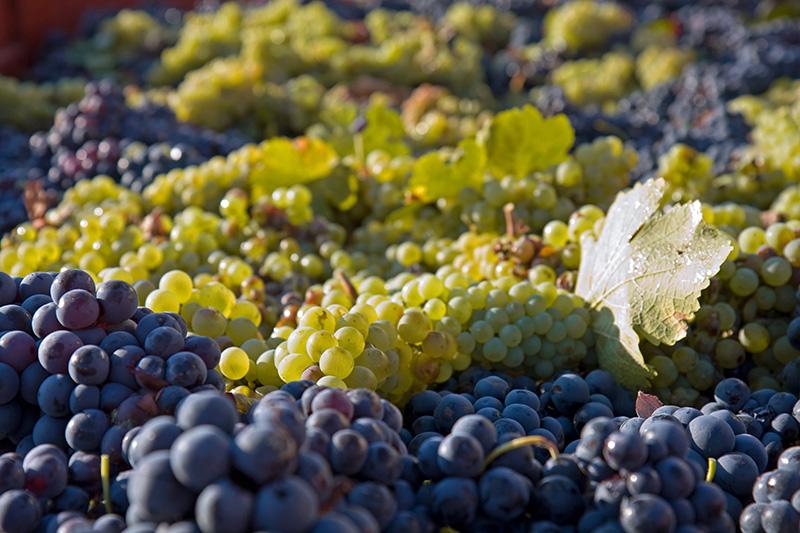 デュック(デュク)・ドゥ・モンターニュ/ロゼに使われているブドウ品種