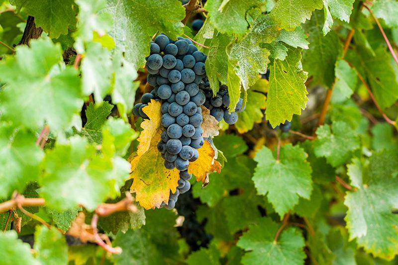 カールユングスパークリングロゼに使われているブドウの品種サンソ―